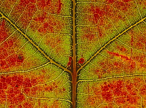 Red oak {Quercus rubra} close-up of leaf showing autumn colour change, UK,  Sequence 2/3 - Chris O'Reilly