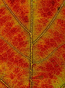 Red oak {Quercus rubra} close-up of leaf showing autumn colour change, UK,  Sequence 3/3 - Chris O'Reilly