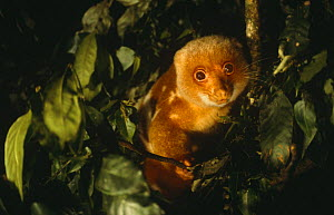 Spotted cuscus male {Phalanger maculatus} Lowland forest, Papua New Guinea.  -  Phil Chapman