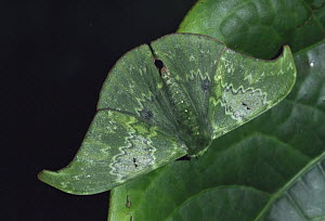 Cryptic Moth camouflaged as leaf in Montane forest, Tari, Papua New Guinea - Phil Chapman