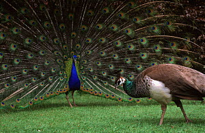 Common peafowl pair, male displaying to female {Pavo cristatus} captive  -  Andrew Murray