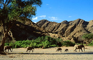 African elephant family {Loxodonta africana} migrate across dry Hoanib river, Namibia, Southern Africa  -  Andrew Murray