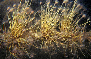 Oaten pipe hydroid {Tubularia indivisa} Jersey, Channel Isles, UK Schockland wreck  -  Sue Daly