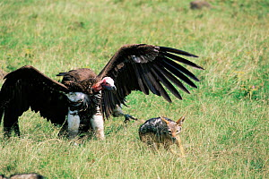Lappet faced / Nubian vulture {Torgos tracheliotus} & Black backed jackal in dispute over carcass. Masai Mara, Kenya  -  Peter Blackwell