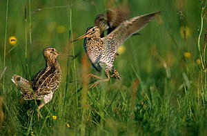 Male great snipe fighting at lek {Gallinago / Capella media} Poland Europe  -  Terry Andrewartha