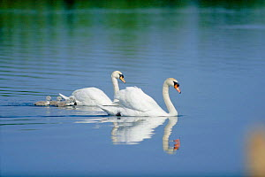 Mute swan pair with chicks on water {Cygnus olor} UK - STEVE KNELL