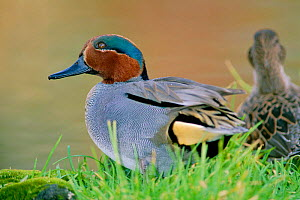 Common teal {Anas crecca} male duck,  UK  -  David Tipling