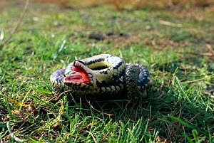 Grass snake feigning death {Natrix natrix} Purbeck, Dorset, UK  -  Tony Phelps