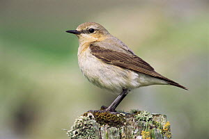 Wheatear female {Oenanthe oenanthe} Sheltand Is, Scotland, UK  -  Nigel Bean