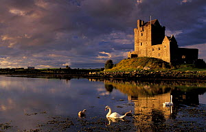 Dunguaire Castle at sunset, Co Galway, Southern Ireland, with swan on lake in foreground  -  David Noton