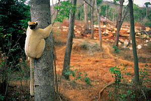 Golden crowned sifaka on edge of clear cut forest {Propithecus tattersalli} Madagascar  -  Pete Oxford