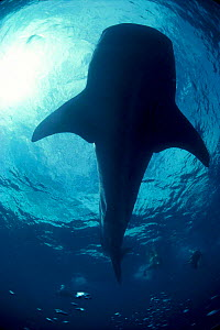 Looking up at Whale shark and divers from below {Rhincodon typus} Ningaloo Reef Western Australia  -  Jeff Rotman