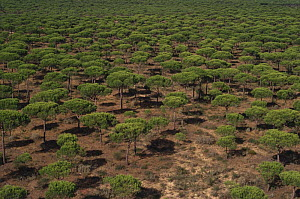 Landscape of Cork oak trees {Quercus suber} from the air, Andalucia, Spain  -  DOMINIC JOHNSON