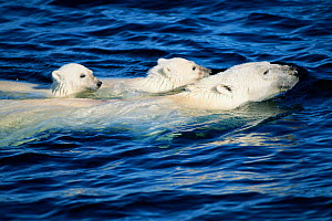 Polar bear swimming with cubs {Ursus maritimus} Arctic  -  TOM MANGELSEN