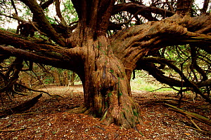 Ancient Common yew tree {Taxus baccata} Kingley Vale NNR, Sussex, UK. - DAVID TIPLING