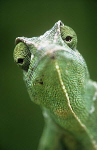 African chameleon {Chamaeleo africanus} portrait, captive, from north-west Africa  -  Ingo Arndt