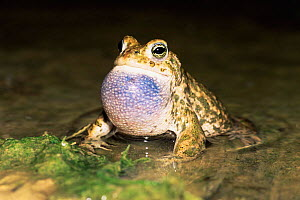 Natterjack toad calling, vocal sac inflated {Bufo calamita} Germany - Ingo Arndt