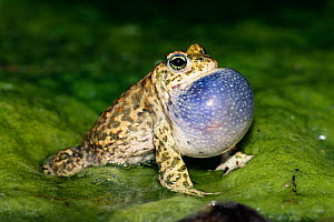 Natterjack toad male calling {Bufo calamita} vocal sac inflated, Germany - Ingo Arndt