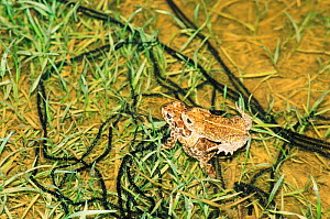 Natterjack toads, mating pair with strings of toad spawn {Bufo calamita} Germany  -  Ingo Arndt