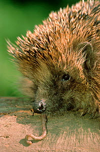 Hedgehog eating earthworm {Erinaceus europaeus} Germany  -  Ingo Arndt
