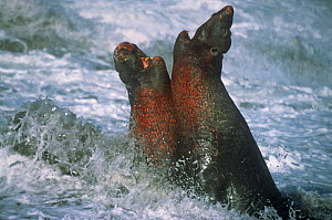 Two Northern elephant seal (Mirounga angustirostris) males fighting for dominance, California, USA  -  Ingo Arndt