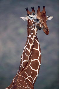 Giraffes necking {Giraffa camelopardalis} - play fighting. East Africa - Anup Shah