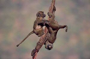 Young Olive baboons playing on branch, Samburu National Reserve, Kenya - Anup Shah