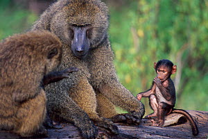 Infant next to adult Olive baboons {Papio anubis}, Samburu National Reserve, Kenya - Anup Shah