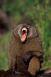 Male Olive baboon yawning showing teeth {Papio anubis}, Samburu National Reserve, Kenya - Anup Shah