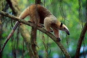 Southern tamandua (or Lesser Anteater) native to South America  -  Anup Shah
