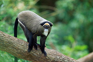 De Brazza's monkey {Cercopithecus neglectus} native to West Africa - Anup Shah
