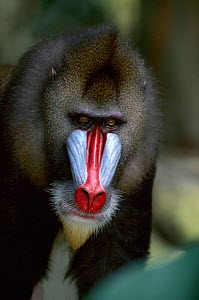 Male Mandrill head portrait, native to West Africa  -  Anup Shah