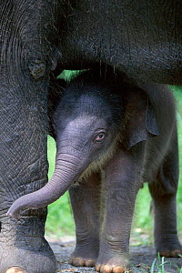 Baby Indian elephant with adult - Anup Shah