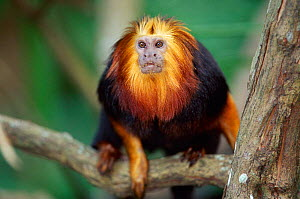 Portrait of Golden headed lion tamarin {Leontopithecus chrysomelas} endangered species native to Brazil  -  Anup Shah