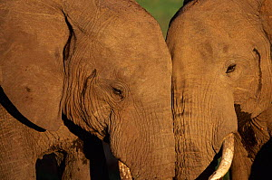 Two affectionate adult African elephants touching heads, Masai Mara Game Reserve, Kenya Not available for ringtone/wallpaper use.  -  Anup Shah