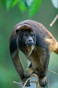 Black howler monkey portrait, native to South America  -  Anup Shah