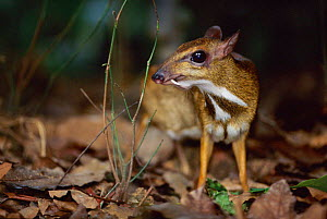 Lesser Malay mouse deer portrait {Tragulus javanicus} native to Asia - Anup Shah