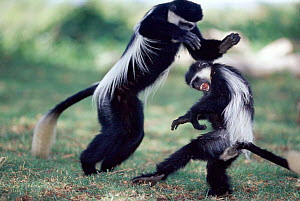 Eastern Black and white colobus monkeys fighting, Kenya, East Africa - Anup Shah