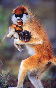 Female Patas monkey {Erythrocebus patas} stealing baby and running off with it, snarling, Kenya  -  Anup Shah