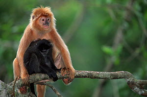 Ebony langur with young {Trachypithecus auratus} native to Java, Indonesia.Captive  -  Anup Shah