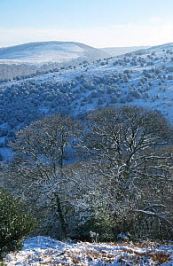 Winter woodland landscape with Oak, Hawthorn & Holly. Quantocks, Somerset, England  -  John Waters