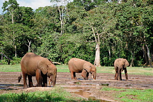 African elephants dig for minerals at Dzanga bai forest clearing Central African Republic {Loxidonta africana} - John Waters