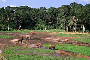 African elephants at Dzanga bai (forest clearing) mineral lick  Central African Republic - John Waters