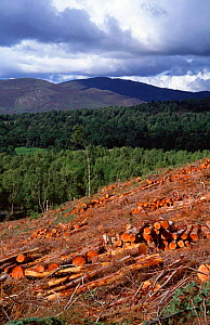 Clear felling timber landscape, Inshriach, Strathspey, Scotland, UK  -  Pete Cairns
