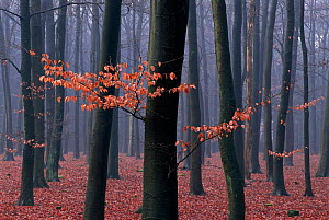European beech woodland in late autumn / winter mist. Netherlands  -  Flip de Nooyer