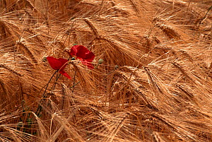 Common poppy {Papaver rhoeas} flowering in field of ripe barley, Netherlands  -  Flip de Nooyer