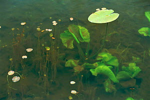 Water lily leaves {Nymphae sp} and other freshwater aquatic plants growing in dyke, Netherlands  -  Flip de Nooyer