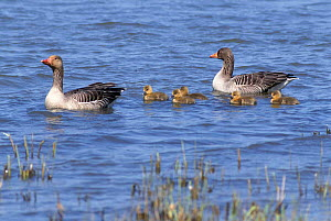 Greylag geese on water with chicks {Anser anser} Netherlands  -  Flip de Nooyer