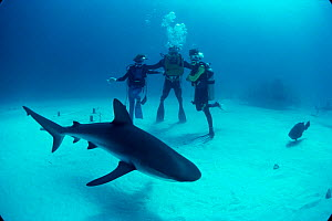 Father and sons observe Caribbean reef shark. {Carcharhinus perezi} Bahamas. Model released. Model released.  -  Jeff Rotman