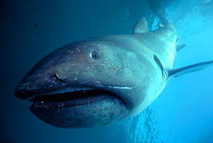 Megamouth shark off California, USA {Megachasma pelagios} Pacific - Bruce Rasner/ Rotman
